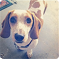 Adopt A Pet :: Snickers - Houston, TX