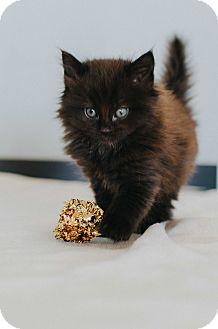 Domestic Longhair Kitten for adoption in Seneca, South Carolina - Amelia $75