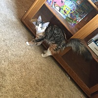 Calico Cat for adoption in Burnet, Texas - Nala