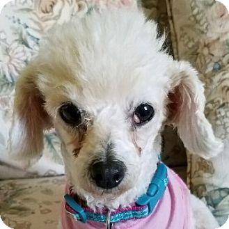 Bichon Frise Mix Dog for adoption in La Costa, California - Maddie