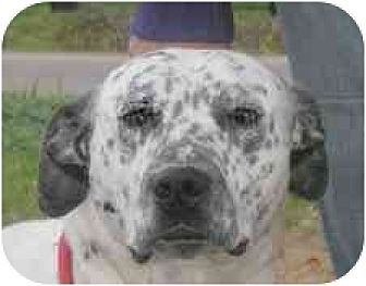 Dalmatian Mix Dog for adoption in Turlock, California - Murphy