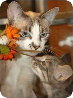 Snowshoe Cat for adoption in Davis, California - Snowshoe Mama