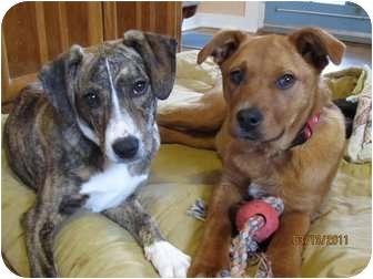 Labrador Retriever/Terrier (Unknown Type, Medium) Mix Dog for adoption in Naugatuck, Connecticut - Pebbles