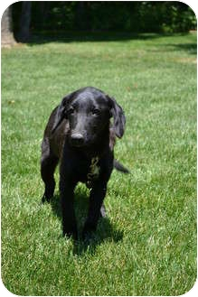 Labrador Retriever Mix Puppy for adoption in Lewisville, Indiana - Mary