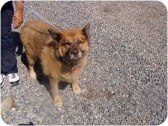Anatolian Shepherd/Chow Chow Mix Dog for adoption in Cedaredge, Colorado - Tisha