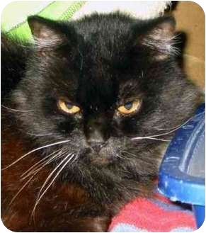 Domestic Longhair Cat for adoption in San Diego/North County, California - Onyx