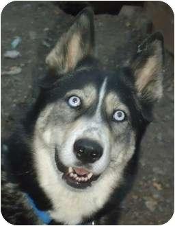 Siberian Husky Dog for adoption in Ashland, Oregon - Nanook