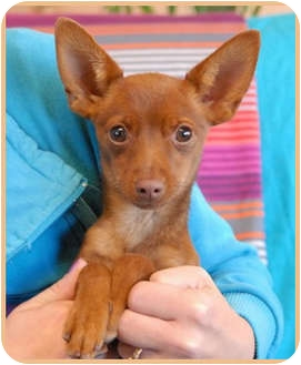 Chihuahua Puppy for adoption in Las Vegas, Nevada - Reed