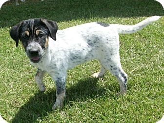 Australian Shepherd/Australian Cattle Dog Mix Puppy for adoption in Liberty Center, Ohio - Fanta