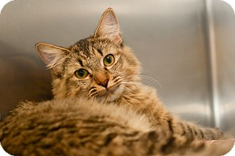 Domestic Mediumhair Cat for adoption in Peace Dale, Rhode Island - Olivia