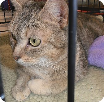 Domestic Shorthair Cat for adoption in Horsham, Pennsylvania - Abigail
