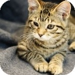 Domestic Shorthair Kitten for adoption in Wheaton, Illinois - Shirley