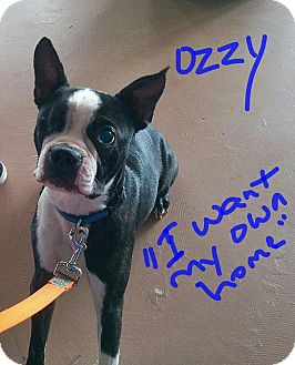 Boston Terrier Dog for adoption in Weatherford, Texas - Ozzie