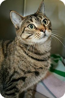 Domestic Shorthair Cat for adoption in Jackson, New Jersey - Hope