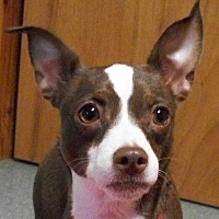 Boston Terrier Mix Dog for adoption in Mtn Grove, Missouri - Beenz