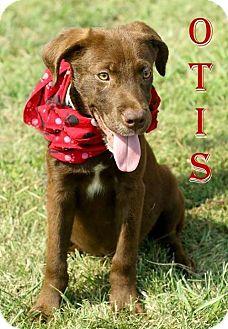 Labrador Retriever Mix Puppy for adoption in Columbia, Tennessee - Otis