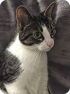 Domestic Shorthair Cat for adoption in South Haven, Michigan - Mandy