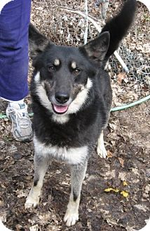 Norwegian Elkhound/Border Collie Mix Dog for adoption in Parsippany, New Jersey - Vinney