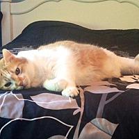 Domestic Shorthair Cat for adoption in St. Louis, Missouri - Heineken