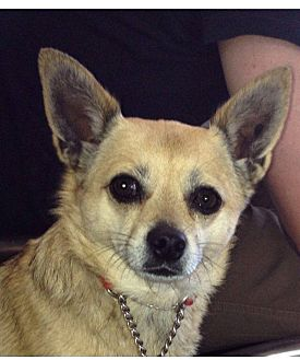 Chihuahua Mix Dog for adoption in Los Angeles, California - Gina