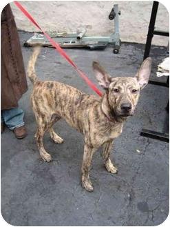 Greyhound/Pharaoh Hound Mix Puppy for adoption in New York, New York - Coyote