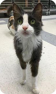 Domestic Mediumhair Cat for adoption in Webster, Massachusetts - Misha
