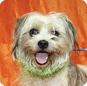 Shih Tzu Mix Dog for adoption in Jackson, Michigan - Benji