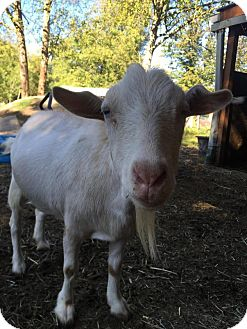 Goat for adoption in Maple Valley, Washington - Roscoe