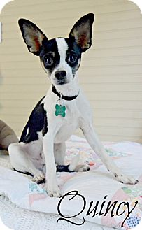 Chihuahua Mix Dog for adoption in Chester, Connecticut - Quincy