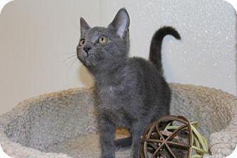 Domestic Shorthair Kitten for adoption in Greensboro, North Carolina - Buzzlight Year