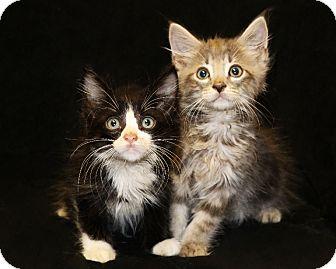 Domestic Longhair Kitten for adoption in Rochester, New York - Clifford