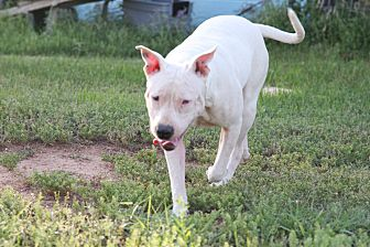 American Pit Bull Terrier Mix Dog for adoption in Georgetown, Texas - Rory