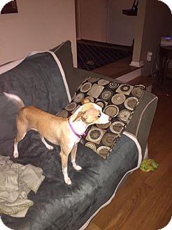 Italian Greyhound Mix Dog for adoption in North Brunswick, New Jersey - Laila