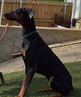 Doberman Pinscher Dog for adoption in Gilmer, Texas - Penny