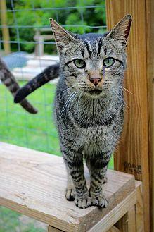 Domestic Shorthair Cat for adoption in San Antonio, Texas - Gilligan