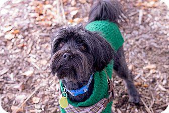 Tibetan Terrier Mix Dog for adoption in Itasca, Illinois - Doug