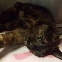 Adopt A Pet :: 31370022 - Buffalo, NY