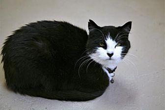 Domestic Shorthair Cat for adoption in Adams, Wisconsin - Blackjack
