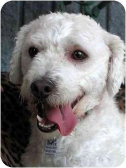 Poodle (Miniature) Mix Dog for adoption in Vista, California - CJ