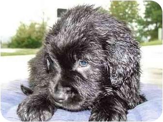 Golden Retriever/Labrador Retriever Mix Puppy for adoption in Windham, New Hampshire - Jude