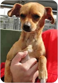 Chihuahua Mix Dog for adoption in Los Angeles, California - PISCES
