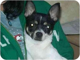 Chihuahua Mix Dog for adoption in Johnsburg, Illinois - Chanel