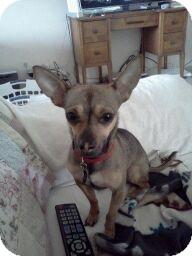 Chihuahua Dog for adoption in Ogden, Utah - Oliver