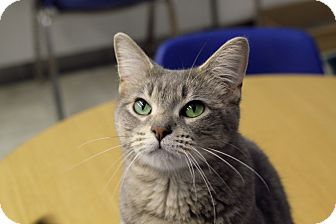 Domestic Shorthair Cat for adoption in Chicago, Illinois - Amphora