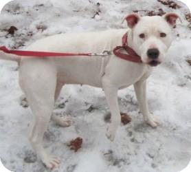 Labrador Retriever/Pit Bull Terrier Mix Dog for adoption in Bloomfield, Connecticut - Kakadu