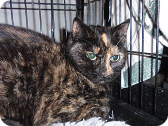 Domestic Shorthair Cat for adoption in East Brunswick, New Jersey - Millie