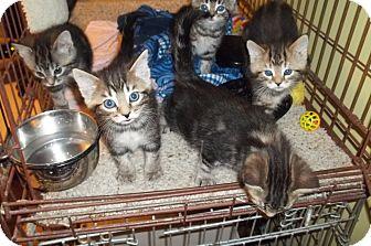 Domestic Shorthair Kitten for adoption in Acme, Pennsylvania - More Tiger Kittens