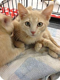 Domestic Shorthair Kitten for adoption in Ogden, Utah - Braveheart