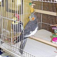 Adopt A Pet :: Bobbin - Concord, CA