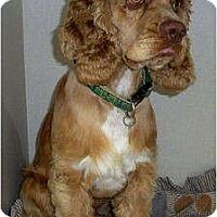 Adopt A Pet :: Nicky - Sugarland, TX